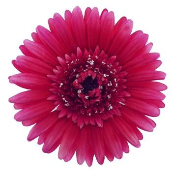 Karen Marie - Le Fleur Collection - Large Gerber Daisy - Hot Pink (1)