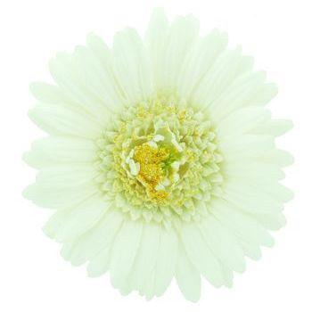 Karen Marie - Le Fleur Collection - Large Gerber Daisy - White (1)